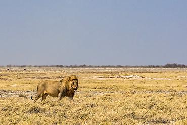 Lion (Panthera leo), Etosha National Park; Namibia