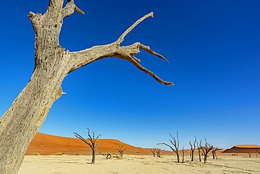 Deadvlei, a white clay pan surrounded by the highest sand dunes in the world, Namib Desert; Namibia