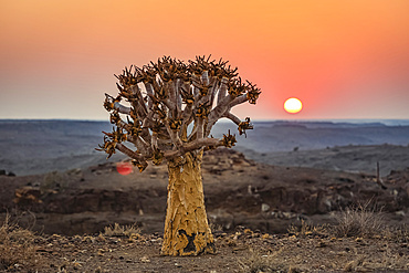 Quiver Tree (Aloidendron dichotomum), Hardap Resort, Hardap Region; Namibia