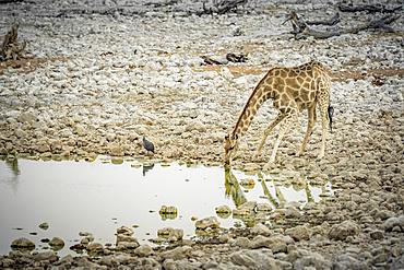 Giraffe and Helmeted Guineafowl (Numida meleagris), Etosha National Park; Namibia