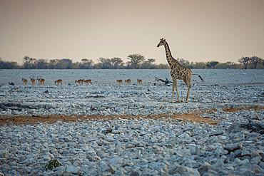 Giraffe and herd of antelope, Etosha National Park; Namibia
