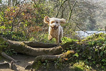 Blond cockapoo leaping in the air over logs and tree roots on a trail by the water; Sunderland, Tyne and Wear, England