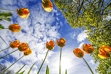 Orange tulips reaching for the blue sky with cloud; Whitburn Village, Tyne and Wear, England