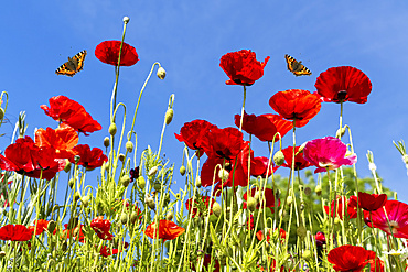 Butterflies flying over red poppies; Whitburn, Tyne and Wear, England
