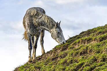 Horse grazing on a grassy sloped hillside; South Shields, Tyne and Wear, England