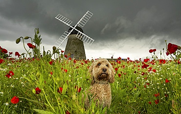 A cute Cockapoo dog sits in a poppy field in the foreground with the Whitburn Windmill in the background; Whitburn, Tyne and Wear, England