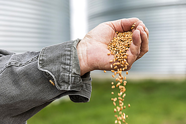 A farmer pouring a handful of harvested wheat; Alberta, Canada