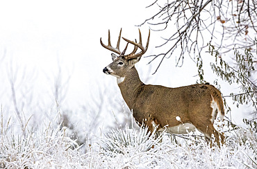 White-tailed deer buck (Odocoileus virginianus) standing in snowy field; Emporia, Kansas, United States of America