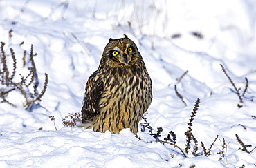 Short-eared owl (Asio flammeus) standing in snow; Fort Collins, Colorado, United States of America