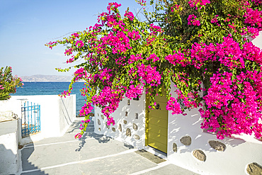 Bright pink flowers blossoming outside a home with a view of the Aegean Sea, Mediterranean; Milos, Greece
