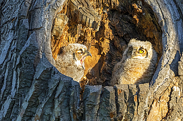 Great Horned Owl and Owlet (Bubo virginianus); Fort Collins, Colorado, United States of America