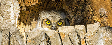 Great Horned Owlet (Bubo virginianus); Fort Collins, Colorado, United States of America