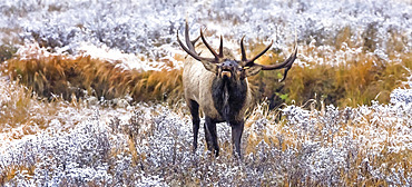 Bull elk (Cervus canadensis) standing in frosty field, looking up and calling; Estes Park, Colorado, United States of America
