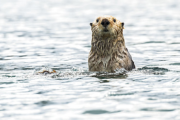 Sea otter (Enhydra lutris) checking out the photographer; Alaska, United States of America