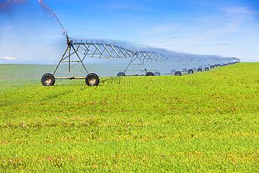 Irrigation equipment spraying water on a growing crop on farmland; Alberta, Canada