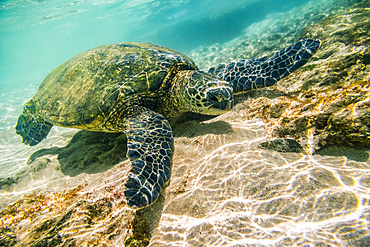 An endangered Green sea turtle (Chelonia mydas) swims underwater in Maui along the sandy bottom looking for food. Sea turtles are captivating for snorkelers, divers and tourists who come to Hawaii to enjoy these sea creatures; Paia, Maui, Hawaii, United States of America