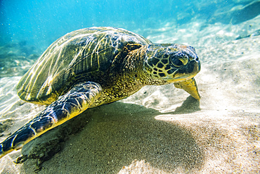 An endangered Green sea turtle (Chelonia mydas) swims underwater in Maui along the sandy bottom looking for food; Paia, Maui, Hawaii, United States of America
