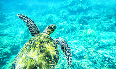 A young sea turtle (Chelonia mydas) swims underwater; Maui, Hawaii, United States of America
