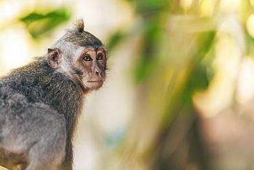 Juvenile Balinese long-tailed Monkey (Macaca fascicularis), Ubud Monkey Forest; Bali, Indonesia