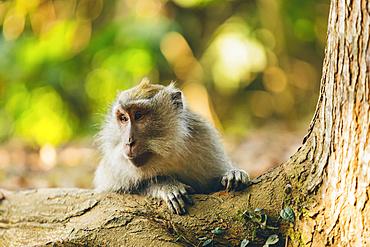 Balinese long-tailed Monkey (Macaca fascicularis), Ubud Monkey Forest; Bali, Indonesia