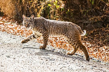 Bobcat (Lynx rufus) with front paw raised walks along a path at Sweetwater Wetlands; Tucson, Arizona, United States of America