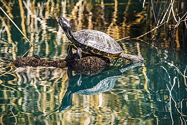 Pond Slider turtle (Trachemys scripta) sunning on a submerged log and showing its reflection in a pond at the Riparian Preserve at Water Ranch; Gilbert, Arizona, United States of America