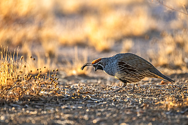 Male Gambel's Quail (Callipepla gamibelli) showing two head plumes searching for food on ground; Casa Grande, Arizona, United States of America