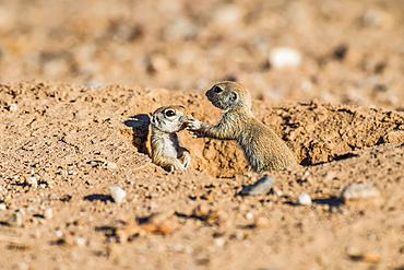 Two Round-tailed Ground Squirrel pups (Xerospermophilus tereticadus) at their burrow entrance; Casa Grande, Arizona, United States of America
