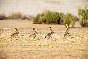 Four Black-tailed Jackrabbits (Lupus californicus) lined up single file with the leader raised on its hind legs in an open field; Casa Grande, Arizona, United States of America