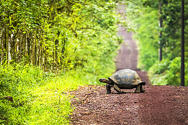 Galapagos giant tortoise (Chelonoidis nigra) lumbers slowly across a long, straight dirt road that stretches off to the horizon. Beyond the grass verge, there is dense forest on either side; Galapagos Islands, Ecuador
