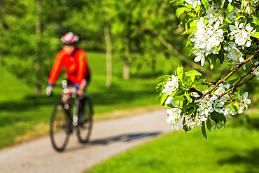 Female cyclist along pathway with apple blossoms framing the foreground ; Calgary, Alberta, Canada