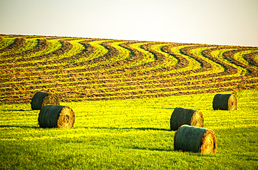 Hay bales in a green field with curvy harvest lines on a rolling hillside in the background, West of Calgary; Alberta, Canada