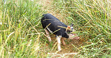 Pig standing on a worn path in tall grasses; Armstrong, British Columbia, Canada