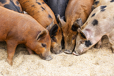 Pigs on a farm feeding on the ground; Armstrong, British Columbia, Canada