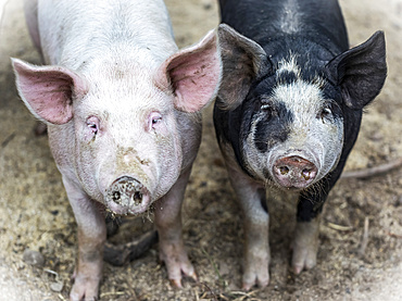 Two pigs on a farm looking at the camera; Armstrong, British Columbia, Canada