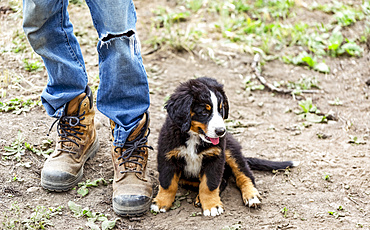 Puppy sitting beside man's feet with work boots; Armstrong, British Columbia, Canada