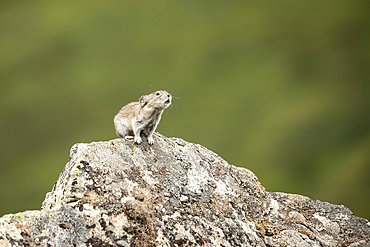 A Collared Pika (Ochotona collaris) sounds an alarm to nearby Pikas to alert them to a possible danger or to simply communicate with others. Pikas do not hibernate and are actually small members of the rabbit family. Hatcher Pass area near Palmer, Alaska in South-central Alaska, late summer; Alaska, United States of America