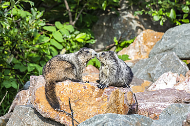 A mother and immature Hoary Marmot (Marmota caligata) take a moment to bond while resting in Hatcher Pass area near Palmer, South-central Alaska. Marmots hibernate in the winter so are busy feeding during the summer and fall months; Alaska, United States of America