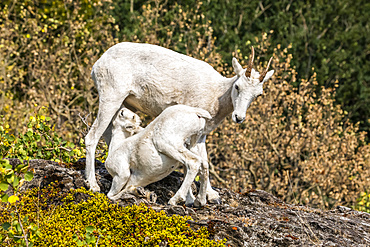 Dall sheep ewe and nursing lamb (Ovis dalli) in the Chugach Mountains South of Anchorage in South-central Alaska in autumn; Alaska, United States of America