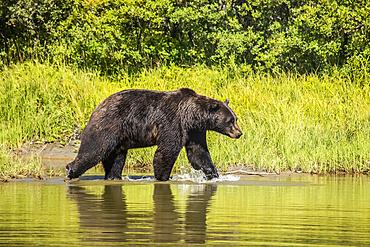 Brown Bear (Ursus arctos) male splashes through a pond, captive animal, Alaska Wildlife Conservation Centre; Portage, Alaska, United States of America