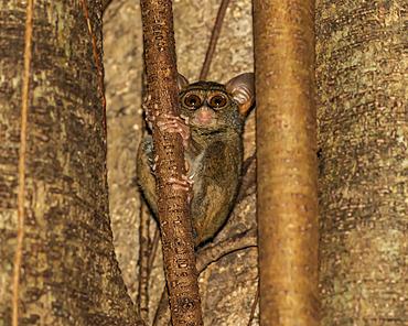 Spectral tarsier (Tarsius spectrum),Tangkoko Batuangus Nature Reserve; North Sulawesi, Indonesia