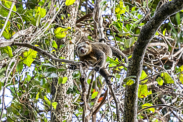 Sulawesi bear cuscus or Sulawesi bear phalanger (Ailurops ursinus), Tangkoko Batuangus Nature Reserve; North Sulawesi, Indonesia