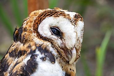 Minahassa masked owl (Tyto inexspectata), Mount Mahawu; North Sulawesi, Indonesia