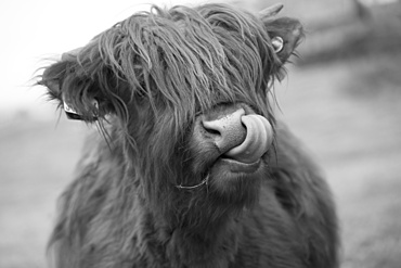 Highland cattle licking it's nose; Scottish Borders, Scotland