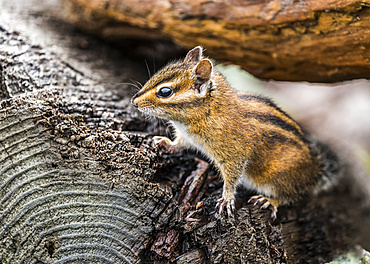 A curious Townsend's chipmunk (Neotamias townsendii) comes out of the driftwood to have a look; Ilwaco, Washington, United States of America