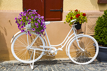 A white decorative bike beside a wall with blossoming flowers in pots; Sibiu, Transylvania Region, Romania