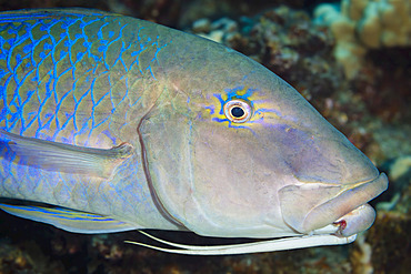 Close-up of a blue goatfish (Parupeneus cyclostomus) showing the two barbels tucked under the chin, used to probe and detect prey; Maui, Hawaii, United States of America