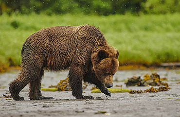 Grizzly bear (Ursus Arctos Horribilis) wading in water looking for fish, Khutzeeymateen Grizzly Sanctuary; British Columbia, Canada
