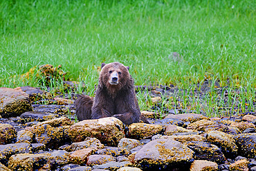 Grizzly bear (Ursus arctos horribilis) sits on lichen-covered rocks at the edge of a grass field and looks at the camera, Khutzeymateen Bear Sanctuary; British Columbia, Canada