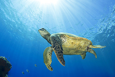 Hawaiian Green sea turtle (Chelonia mydas) swimming close to the surface with sunburst; Maui, Hawaii, United States of America